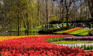 Red and yellow tulips in Keukenhof garden in Amsterdam