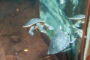Red-bellied short-necked turtles (Emydura subglobosa) at Shedd Aquarium
