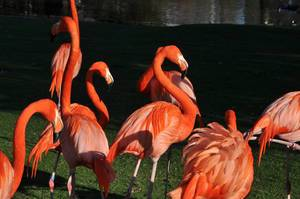 Red Flamingos in Cologne Zoo