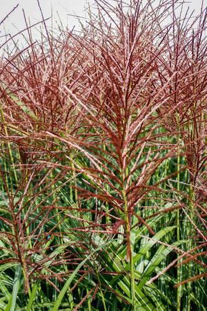 red grass close-up