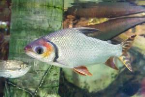 Red Shiner at Shedd Aquarium