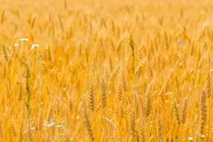 Reife Weizenähren auf einem goldenen Getreidefeld