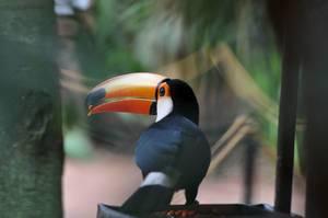 Riesentukan im Vogelpark Parque das Aves in Brasilen