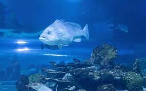 Riesenzackenbarsch, der größte in Riffen lebende Knochenfisch, im Tropicarium in Budapest