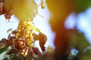 Ripe grapes in the vineyard, autumn crop (Flip 2019)