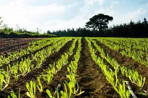 Roman lettuce plantation