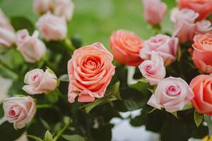 Rosa Rosen mit grünen Blättern in der Nahaufnahme