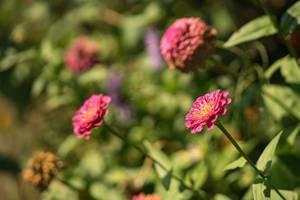 Rosafarbene Blumen im Garten. Verschwommener Hintergrund