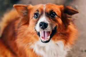 Rot-brauner kleiner Hund lächelt in die Kamera