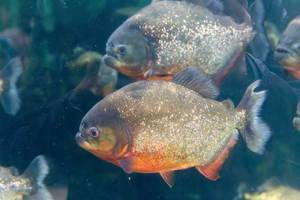 Rotbäuchiger Piranha im Shedd Aquarium