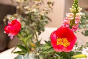 Rote Pfingstrose und rosa Frühlingsblumen am Strang mit grünen Blättern