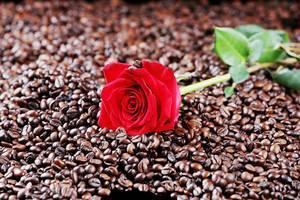 Rote Rose liegt in einer Kaffeebohnen