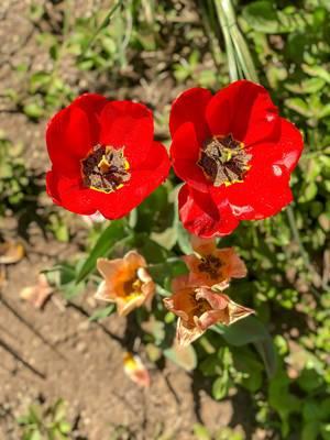 Rote Tulpen aus der Vogelperspektive