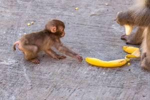 Rotgesichtsmakake-Baby versucht eine Bananenschale von einem anderen Tier zu stehlen