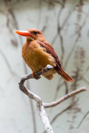 Ruddy Kingfisher / Eisvogel Feuerliest