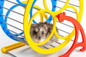 Running hamster in a wheel