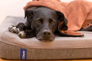 Sad looking black labrador laying on a dog pillow covered by a blanket