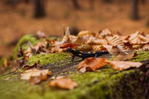Salamander im Wald