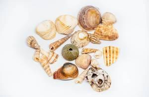 Sammlung von unterschiedlichen Muscheln vor weißem Hintergrund