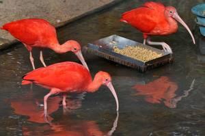 Scharlachsichler (Guará) im Vogelpark  Parque das Aves