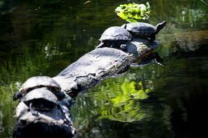 Schildkröten sonnen sich auf einem Holzstamm