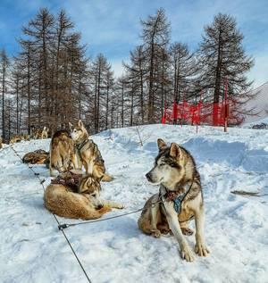 Schlittenhunde liegen auf Schnee und machen Pause in Wintersportgebiet Vars, Frankreich