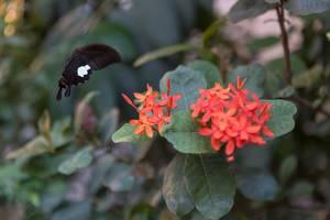 Schmetterling gerade im Begriff auf einer roten Blume zu landen