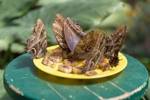 Schmetterlinge im Schmetterlinghaus in Wien vertilgen eine Banane