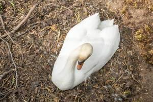 Schwan im Nest in einem Park