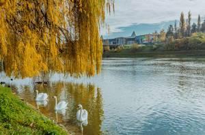 Schwäne am Fluss Drau in Marburg