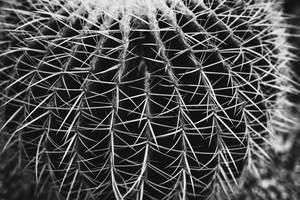 Schwarz-Weiß Fotografie von einem Echinocactus Grusonii in Nahaufnahme