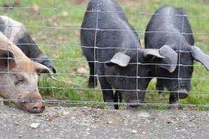 Schwarze Mallorcaschweine Cerdo Negro