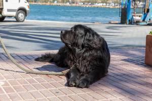 Schwarzer Hund an einer dicken Leine - Yachthafen von Puerto de Andraitx, Mallorca