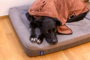 Schwarzer Hund macht es sich mit Hundekissen und Hundedecke gemütlich