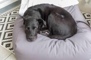 Schwarzer Hund mit braunen Augen, liegt zusammengerollt auf einem Sitzsack