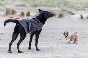 Schwarzer Labrador an der Leine am Strand