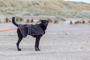 Schwarzer Labrador an der Leine schaut Richtung Kamera