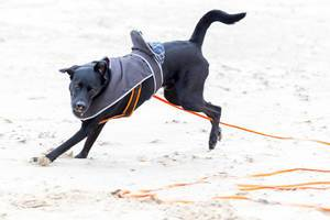 Schwarzer Labrador beim Herumtollen am Strand