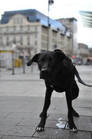 Schwarzer Labrador beim Urinieren in der Stadt