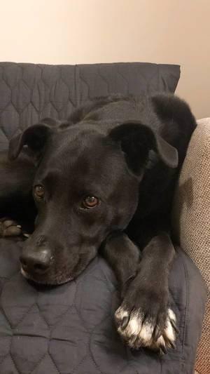 Schwarzer Labrador entspannt sich auf dem Sofa