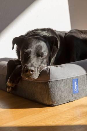 Schwarzer Labrador genießt die Sonne auf einem Hundebett von Casper