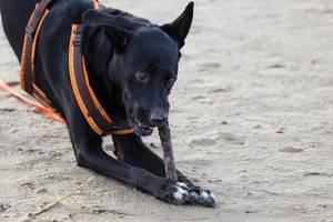 Schwarzer Labrador knabbert an einem Stück Holz