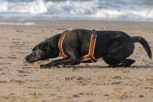 Schwarzer Labrador krabbelt am Sandstrand