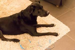 Schwarzer Labrador liegt auf dem Teppich