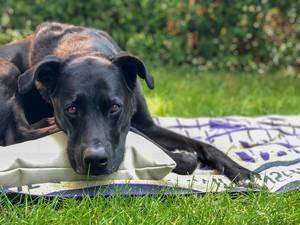 Schwarzer Labrador liegt auf einem Kissen und einer Decke im Hausgarten