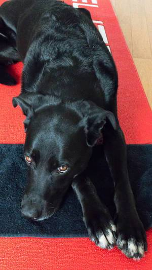 Schwarzer Labrador liegt auf rot-schwarzem Teppich