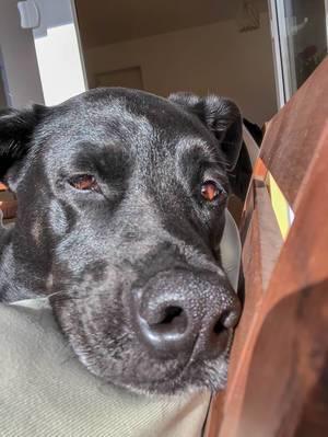 Schwarzer Labrador liegt mit der Schnauze auf einem Stuhl und schaut in die Kamera
