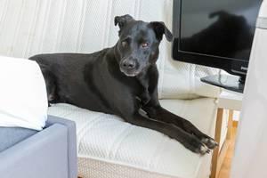 Schwarzer Labradorhund schaut sehnsüchtig auf die neue Casper Matratze mit Memoryschaum