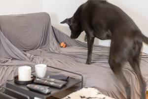 Schwarzer Labradorhund springt auf die Couch, um seinen Ball zu fangen und zu spielen