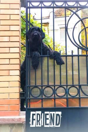 Schwarzer Terrier. Der beste Freund des Menschen